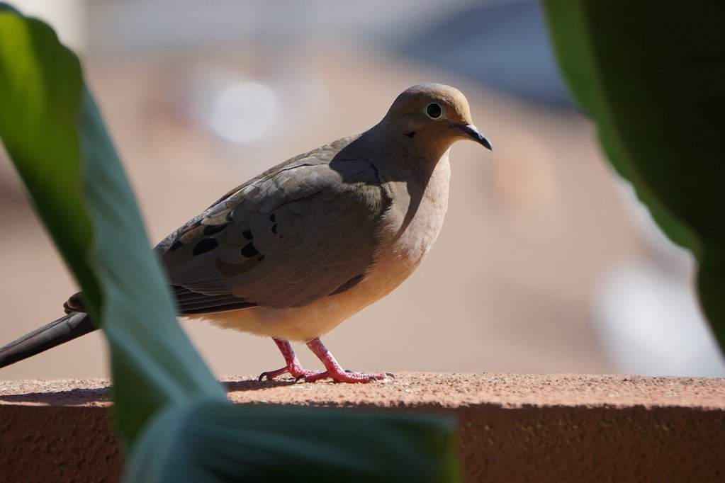 a mourning dove on a brick wall